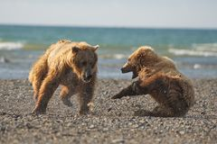 Pacific Coastal Brown bears usus arctos fighting - grizzliy -. Pacific Coastal Brown bears usus arctos in Katmai National Park. Bears are fighing over fishing stock photography