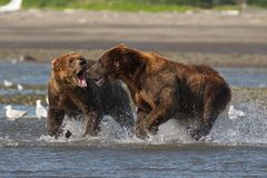 Pacific Coastal Brown bears usus arctos fighting - grizzliy -. Pacific Coastal Brown bears usus arctos in Katmai National Park. Bears are fighing over fishing royalty free stock images