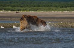 Pacific Coastal Brown bears usus arctos fighting - grizzliy -. Pacific Coastal Brown bears usus arctos in Katmai National Park. Bears are fighing over fishing stock photo