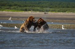 Pacific Coastal Brown bears usus arctos fighting - grizzliy -. Pacific Coastal Brown bears usus arctos in Katmai National Park. Bears are fighing over fishing royalty free stock photo
