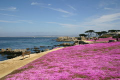 Pacific Coastline in flower. These bright violet flowers carpet parts of the Pacific Coastline along PCH Stock Image