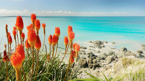 Pacific Coastline and Red Flowers Royalty Free Stock Image
