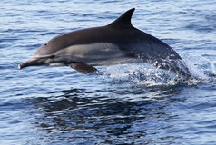 Pacific Common Dolphin. A common dolphin jumps out of the water in the Pacific Ocean near San Diego Stock Photo