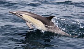 Pacific Common Dolphin. A long beaked common dolphin in the Pacific Ocean near San Diego Stock Image