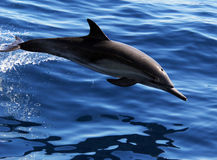 Pacific Common Dolphin Royalty Free Stock Images