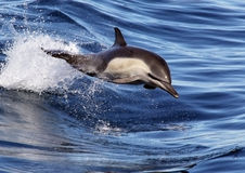 Pacific Common Dolphin Riding The Waves. A long beaked common dolphin enjoys the push off of a small wave Stock Image