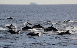 Pacific Common Dolphins Royalty Free Stock Photos