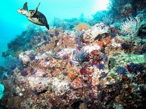 Pacific Coral Reef w/ Hawksbill Sea Turtle. A `critically endangered` Hawksbill Turtle flies past a colorful eastern Pacific Ocean coral reef located in Banderas stock photo