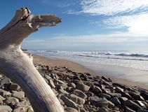 Pacific Cove. Drift wood tree on the California coast Royalty Free Stock Photo