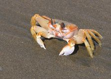 Pacific Crab. Crab on a pacific beach Royalty Free Stock Photography