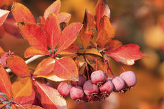 Pacific Crabapple tree (Malus Fusca) Royalty Free Stock Photos