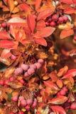 Pacific Crabapple tree (Malus Fusca) Stock Photos
