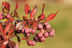 Pacific Crabapple tree (Malus Fusca) stock photography