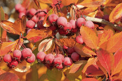 Pacific Crabapple tree (Malus Fusca) royalty free stock images