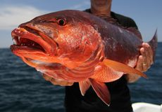 Pacific dog snapper (Lutjanus novemfasciatus). A man holding a red carp (Lutjanus novemfasciatus, pacific dog snapper) caught with lures in Costa-Rica stock photo