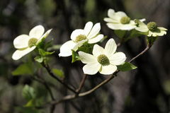 Pacific Dogwood in Bloom stock photos