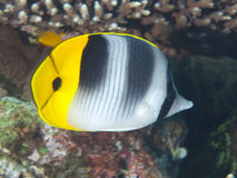 Pacific double-saddle butterflyfish Stock Photography