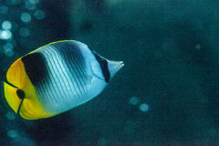 Pacific double-saddle butterflyfish Chaetodon ulietensis. Swims over a coral reef Royalty Free Stock Images
