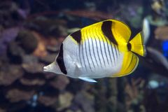 Pacific double-saddle butterflyfish Chaetodon ulietensis - tropical fish. Close up Stock Photography