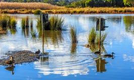 Pacific ducks on the lake 1. Pacific ducks on the lake in Glen Waverley, Victoria, Australia royalty free stock photos
