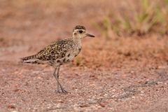 Pacific golden plover Royalty Free Stock Photography