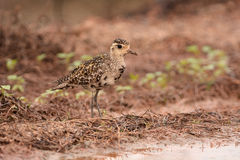 Pacific golden plover Royalty Free Stock Image