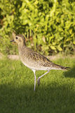 Pacific Golden Plover Stock Photos