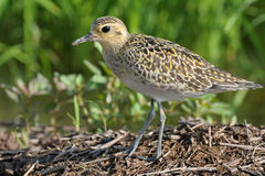 Pacific Golden Plover. Stock Images