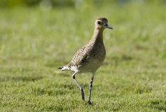 Pacific Golden Plover. A Pacific Golden Plover pauses in midstep on lush green grass. These birds migrate between Alaska and Hawaii Royalty Free Stock Photography