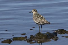 Pacific Golden Plover in autumn plumage on shore Stock Photo