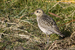 Pacific Golden Plover in autumn plumage sunny autumn Stock Images