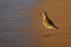 Pacific Golden Plover on Beach, Maui, Hawaii Stock Photography