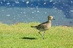 Pacific Golden Plover Bird Royalty Free Stock Photography