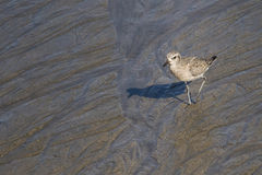 Pacific Golden-Plover Juvenile Royalty Free Stock Photography