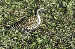 Pacific golden plover in Kauai, Hawaii. Pacific golden plover blends into it`s surroundings in Kauai, Hawaii Royalty Free Stock Photos