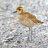 Pacific Golden-Plover Stock Photo