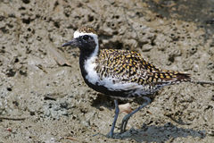 Pacific golden plover Pluvialis fulva breeding plumage. Pacific golden plover Pluvialis fulva Bird breeding plumage Stock Photos