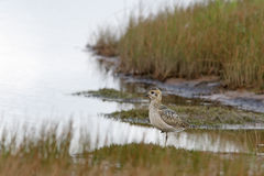 Pacific golden plover (Pluvialis fulva) Royalty Free Stock Photo