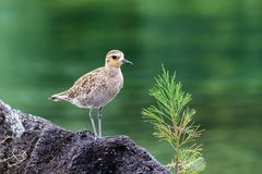 Pacific Golden Plover standing on rock, next to young pine tree. Green water in background. Hilo, Hawaii. Pacific Golden Plover pluvialis fulva standing on a royalty free stock photography