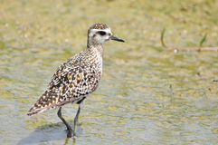 Pacific Golden-Plover (Pluvialis fulva) Royalty Free Stock Photos