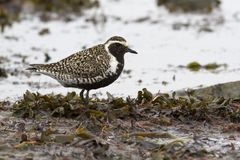 Pacific golden plover standing on the shallows at the seashore d Stock Photo