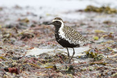 Pacific Golden Plover standing on the shore of the ocean among Royalty Free Stock Image