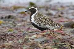 Pacific golden plover which stands among the seaweed Royalty Free Stock Photos