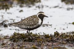Pacific golden plover which stands among the seaweed on the sea Royalty Free Stock Photos