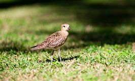 Pacific Golden Plover Wild Bird Oahu Haiwaii Animal Wildllife Stock Photo