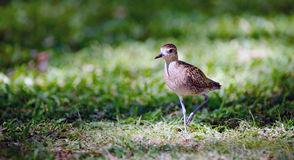Pacific Golden Plover Wild Bird Oahu Haiwaii Animal Wildllife Stock Images