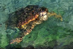 Pacific Green Turtle Stock Image