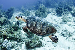 Pacific green turtle swimming on great barrier reef, cairns, australia. Underwater tropical reef scene royalty free stock photos