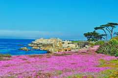 Pacific Grove, California, United States of America, Usa. Ice plants blooming on the beach of Pacific Grove on June 16, 2010. Pacific Grove is a coastal city in Royalty Free Stock Photography