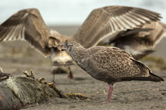 Pacific Gull eating dead seal on the beach. Royalty Free Stock Images